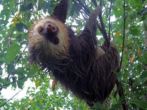 rica monteverde sloth