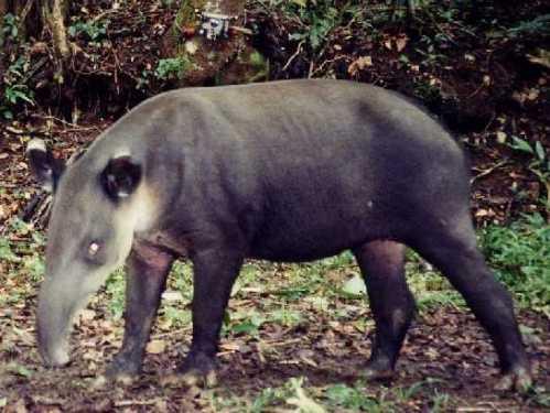 rica tapir