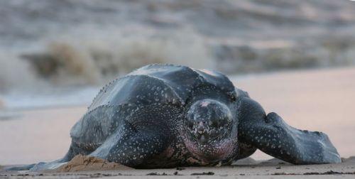 ricas playa grande turtle