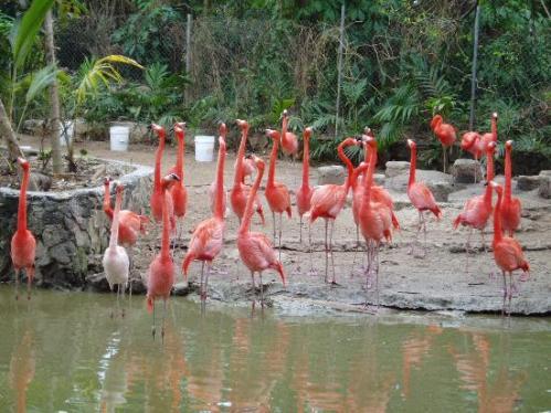 bahamas flamingos
