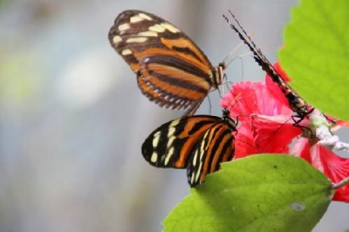 hon butterfly