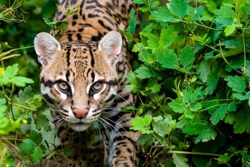 hon la tigra jaguar