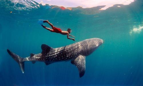hon utila sharks