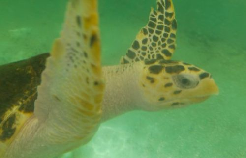 pan centro turtle