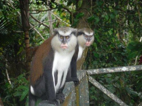 grenada grand etang monkeys