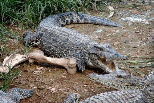 cuba croc farm