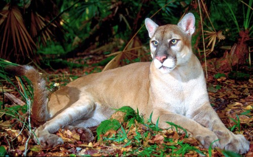 ever florida panther
