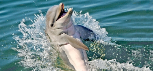 florida dolphin