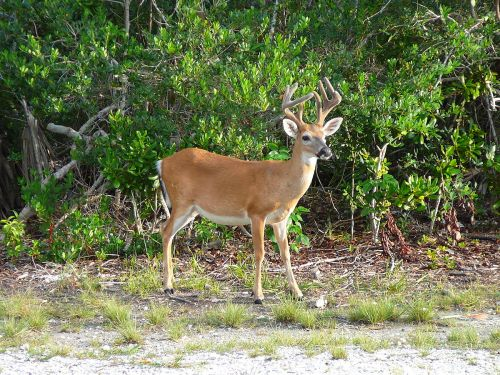florida key deer