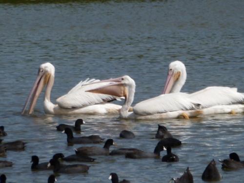off pelican