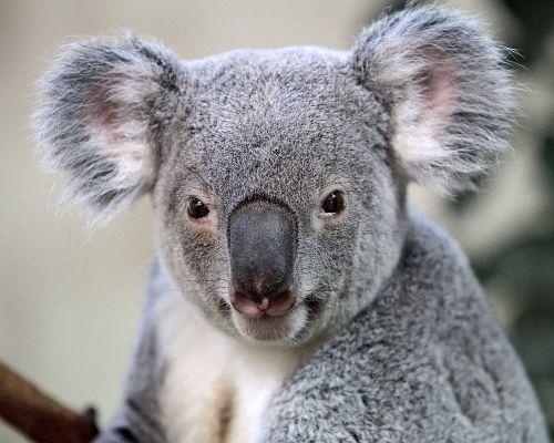 palm zoo koala