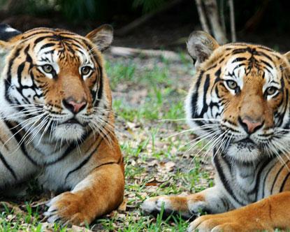 palm zoo tigers