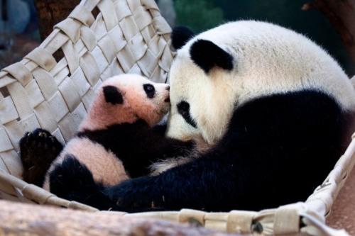 atlanta grant zoo panda