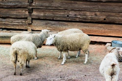 atlanta history farm sheep