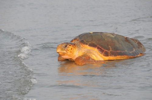 sc romain turtle