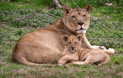 norfolk zoo lions