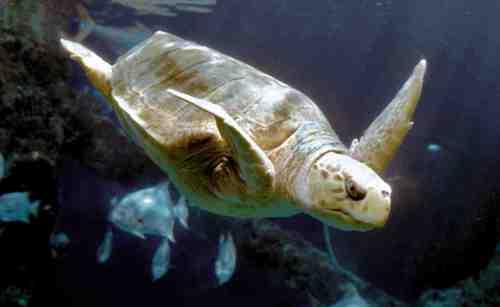 virg aquarium turtle