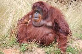 rich zoo orangutan