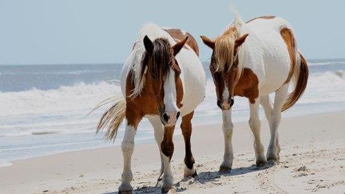 virg wild ponies