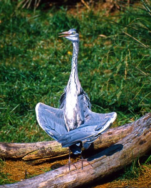anna black heron