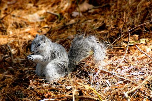 Endangered white squirrel ~ Delmarva Fox Squirrel