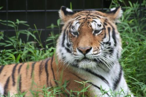 del zoo tiger