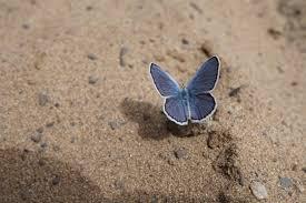 al preserve blue butterfly