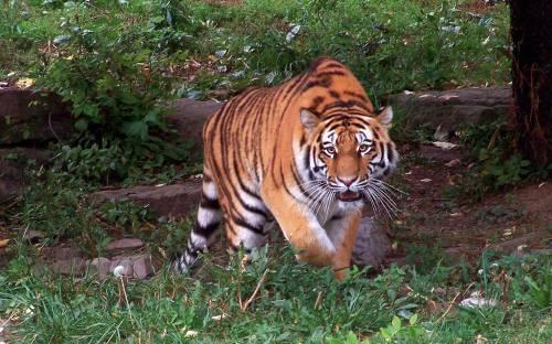 buf del zoo tiger