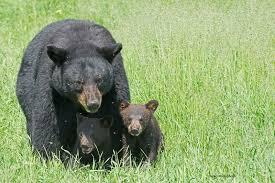 cat esopus bear