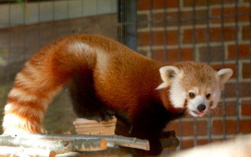 bridge zoo RedPanda