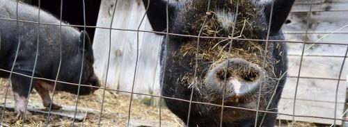 mass seven pigs