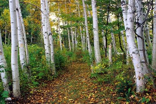 ham birches