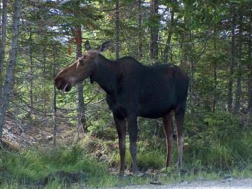 ma lily moose