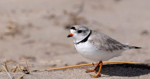 off Parker-Piping-Plover-760x400