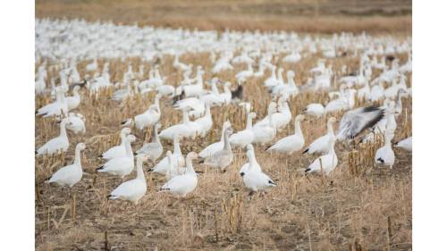 vermont lake snow geese