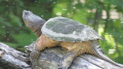 harry wildwood turtle