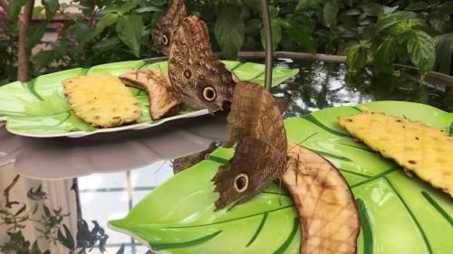 hershey hershey garden butterfly