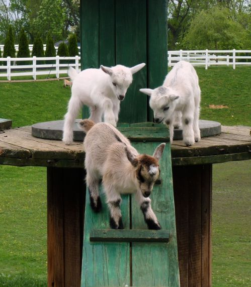 pen amish goats