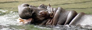 phil zoo hippo