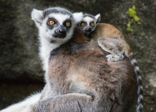 phil zoo lemur
