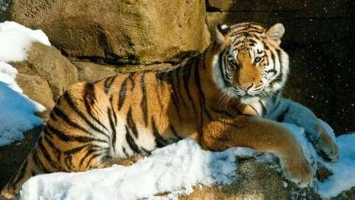 phil zoo tiger