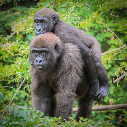 cin zoo gorilla.jpg