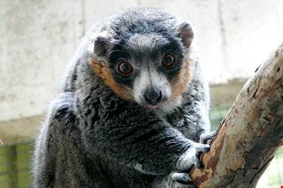 cleve zoo lemur-cleveland-metroparks-zoo-mongoose