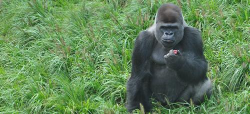 louis zoo gorilla
