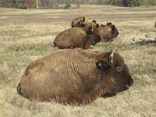 memphis Bison_Shelby_Farms_Park_Memphis_TN_001