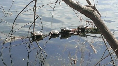 nash radnor-lake turtles