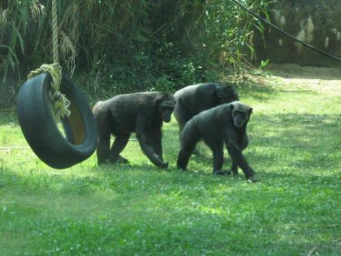 yen chat zoo chimps-in-the-gombe-forest
