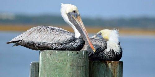 al wildlife pelicans