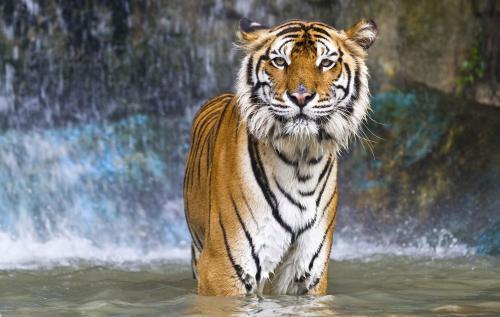 mad henry tiger