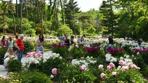 mich botanitcal arboretum peony